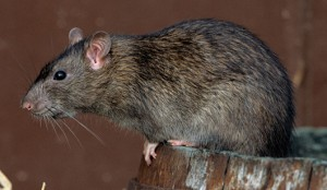 Brown Rat or Norway Rat (Rattus norvegicus), adult rat in a barn, Europe